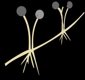 mucormycotina-stolon.svg